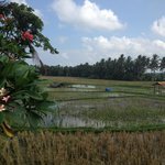 View on the ricefields (just behind the pool)
