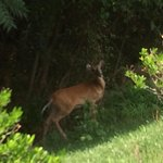 A deer in the little forest area near the hotel. Greeted me almost every morning on my walk to t