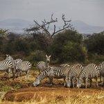 Zebra at the waterhole just behind Tawi Lodge