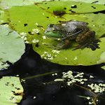 frog in pond of Japanese Garden