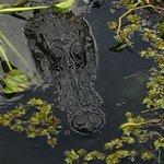 One of the alligators