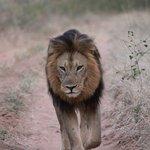 Nez à Nez avec un Lion dans le Parc national du Chobe