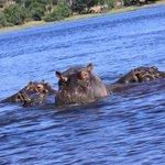 A la rencontre des Hippos