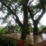 Sehr alter Banyan-Baum