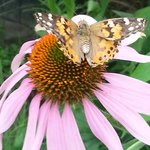 Painted Ladies sipping from flowers