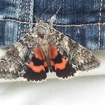 Underwing Moth landed on my jacket