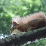 Red squirrel eating cheese!
