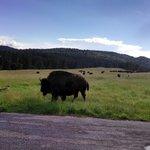The Buffalo Roam!
