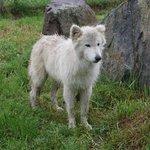 Kalani - wolf