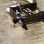 Mississippi Kite from our window