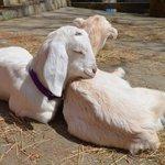 baby goats ( kids)
