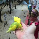 hand feeding the budgie in the aviary.