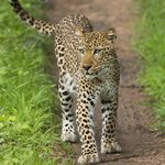 Leopard: we backed up 6-8 times to take photos!