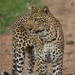 Leopard sightings are common in South Luangwa