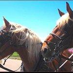 Cheyenne & Cody, our Belgian Draft Horses.