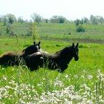 Duke & Pepper, our Percheron Draft Horses, in spring pasture