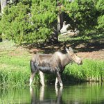 Moose in the creek - July 2014