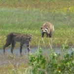 Bobcat and Racoon at Black point wildlife drive  (July 27, 2014 @Carolyn)