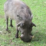 warthog on lawn off dining area