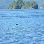 although this picture is poor quality you can see a Humpback Whale and Orcas at the same time! W