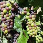 Luscious grapes!