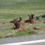 Elk on the side of the road