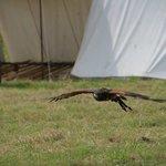 Low flying Falcon