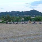 Cami de s'Olivar goats and sheep