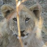 Lion Cub - adorable to see.