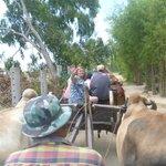 Ox carts