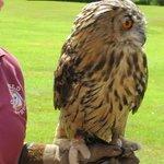 Eagle owl at Muncaster