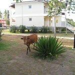 frecuentes vacas por las inmediaciones