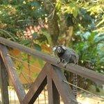 Miquinho na varanda do bangalô