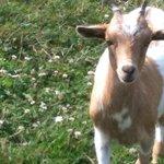 Petite chèvre