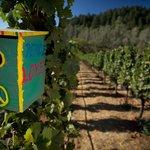 Bluebirds nesting in an organic vineyard block