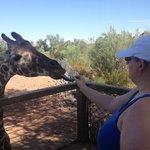 Feeding a 22 year old Giraffe