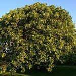 Prati Degli Orti - What an impressive tree, June/July 2013