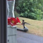 Humming Bird feeding outside our window