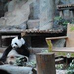 Feeding Time at the Pandas