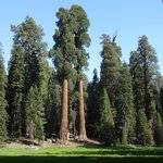 Giant trees at Sequoia NP