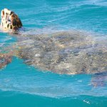 Turtle swimming outside bungalow 522