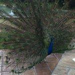 Rhett the pet peacock!
