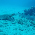 Turtle and Reef Shark