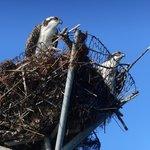 Osprey nest along canoe trails to Tylerton
