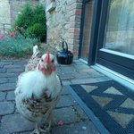 This chicken was a bit miffed we wouldn't let her inside