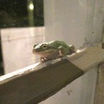 Friendly green tree frog seen on front porch of inn, July 2014.