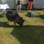 Farm camping!! Pig wandered in for a drink from the dog bowl