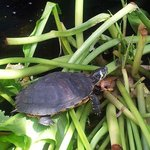 turtle in his pond at the hotel