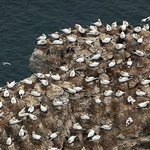 Gathering of Gannet