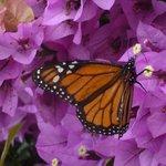 Monarch butterfly on bougainvillea